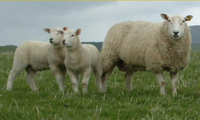 Lleyn ewe with pure twin lambs